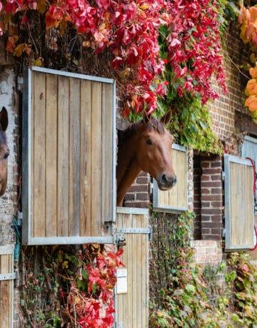 Trois chevaux passant la tête par leur boxe